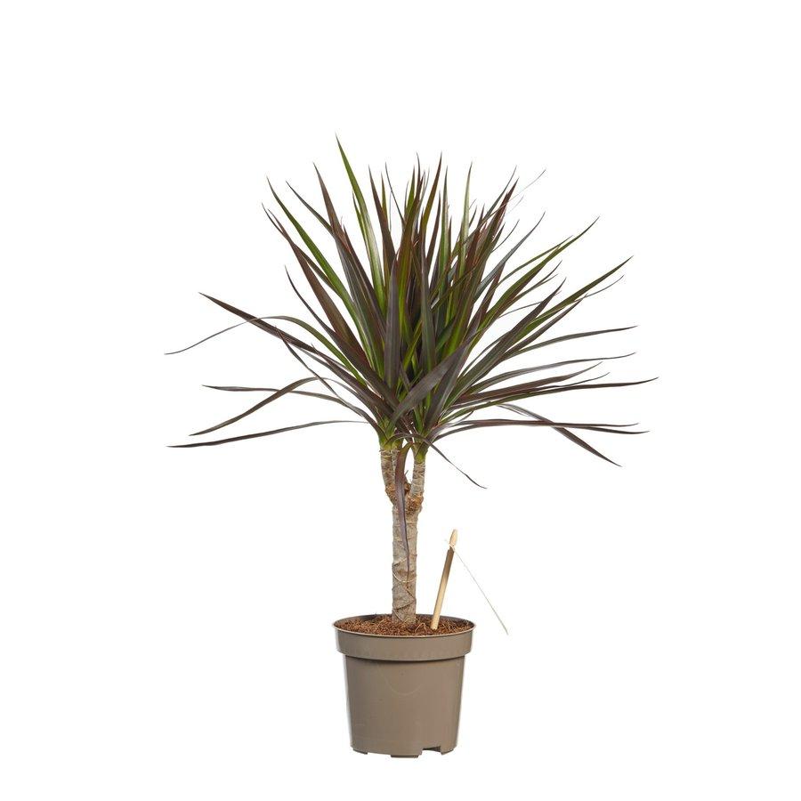 Dracaena Margenta (Dracaena marginata Margenta - 11x45 cm)-2