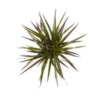 thumb-Dracaena Margenta (Dracaena marginata Margenta - 11x45 cm)-3