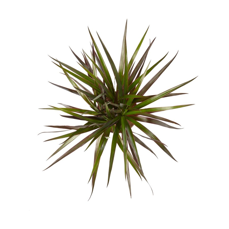 Dracaena Margenta (Dracaena marginata Margenta - 11x45 cm)-3