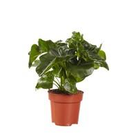 thumb-Philodendron Atom (PNLATO12 - 12x25 cm)-1