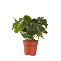 thumb-Philodendron Atom (PNLATO12 - 12x25 cm)-2