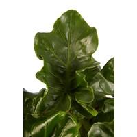 thumb-Philodendron Atom (PNLATO12 - 12x25 cm)-4