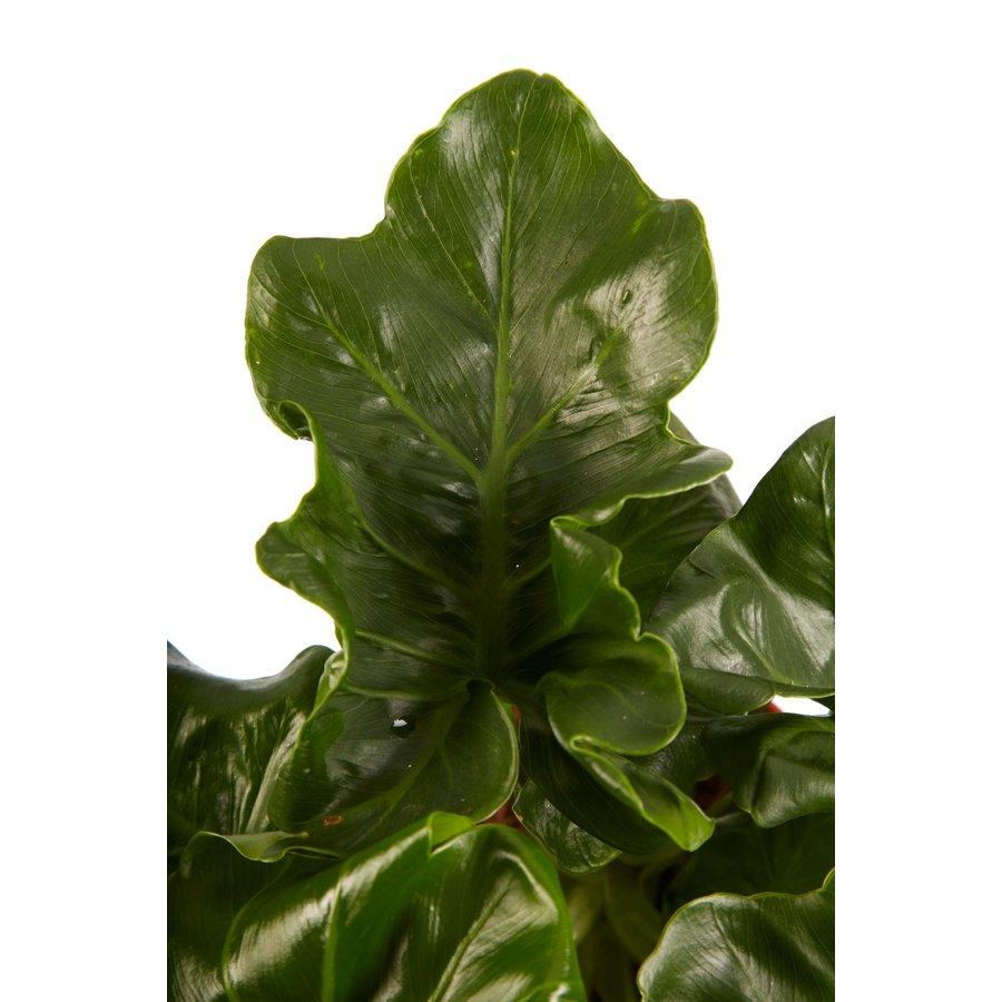 Philodendron Atom (PNLATO12 - 12x25 cm)-4