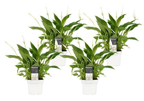 Decorum Spathiphyllum Bellini (4 stuks) (SPA12WEB01 - 13x40 cm)