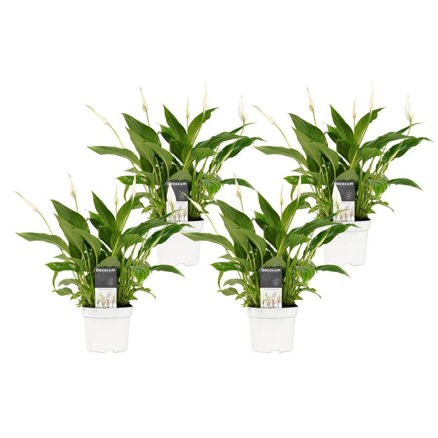 Decorum Spathiphyllum Bellini (4 stuks) (SPA12WEB01 - 13x40 cm)-1