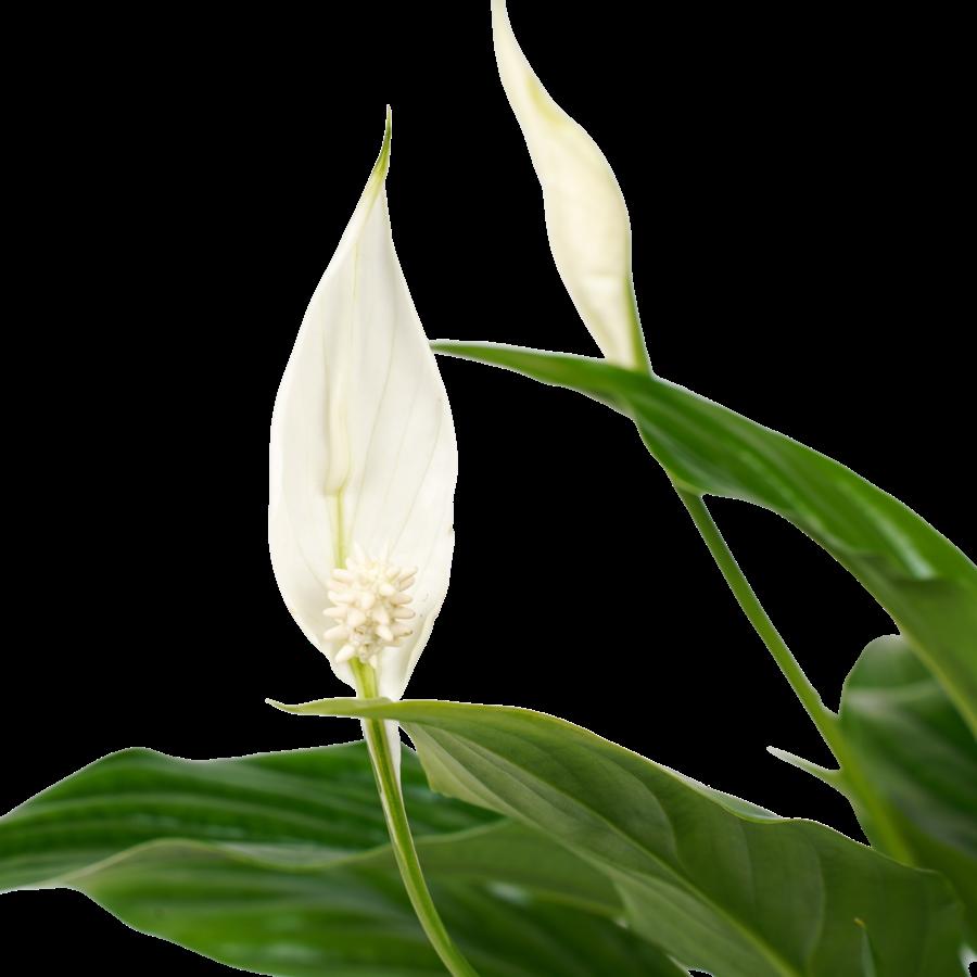Decorum Spathiphyllum Bellini (4 stuks) (SPA12WEB01 - 13x40 cm)-2