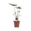 Decorum Alocasia Zebrina (19x70 cm)
