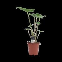 thumb-Decorum Alocasia Zebrina (19x70 cm)-1