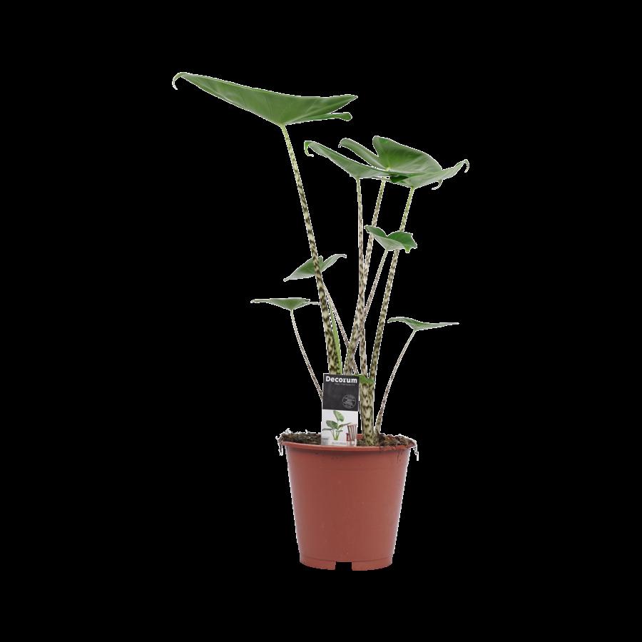 Decorum Alocasia Zebrina (19x70 cm)-1