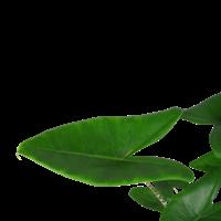 thumb-Decorum Alocasia Zebrina (19x70 cm)-2
