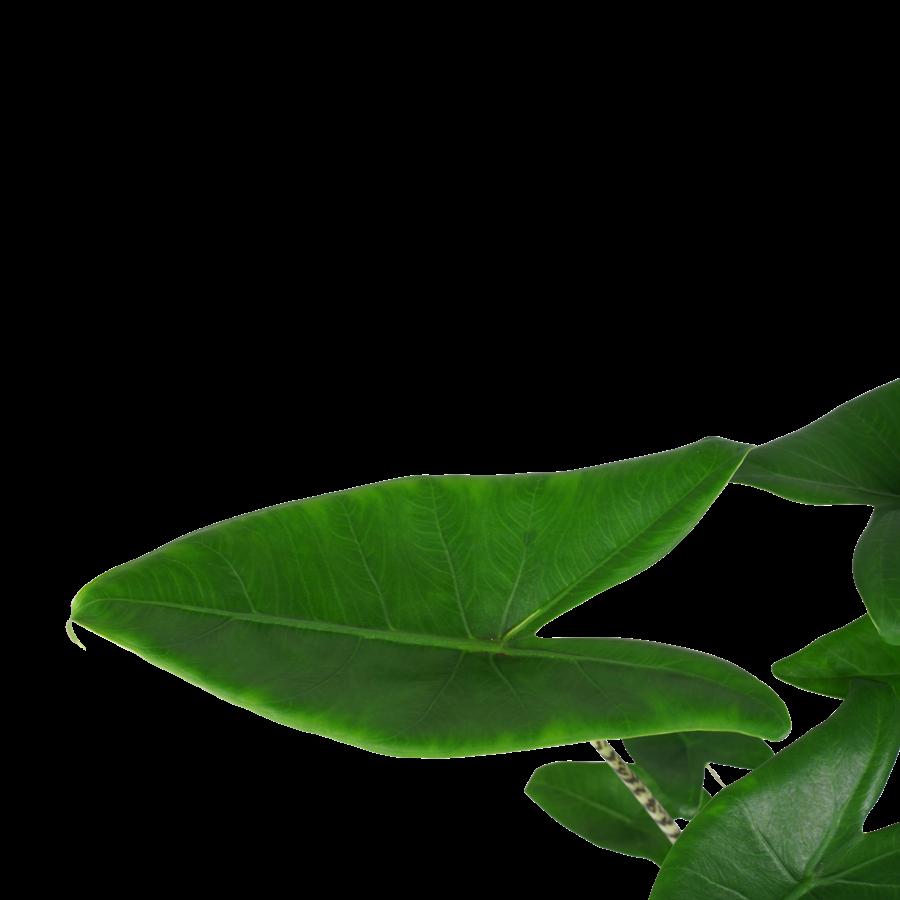 Decorum Alocasia Zebrina (19x70 cm)-2