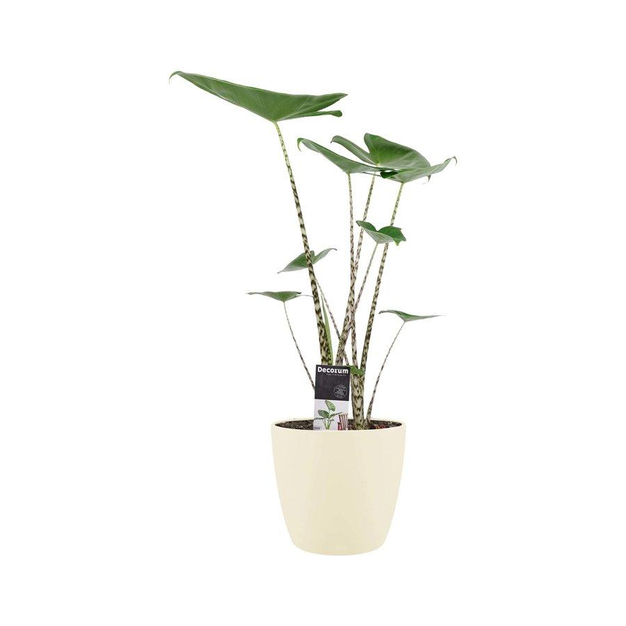 Decorum Alocasia Zebrina met ELHO brussels soap (19x70 cm)-1