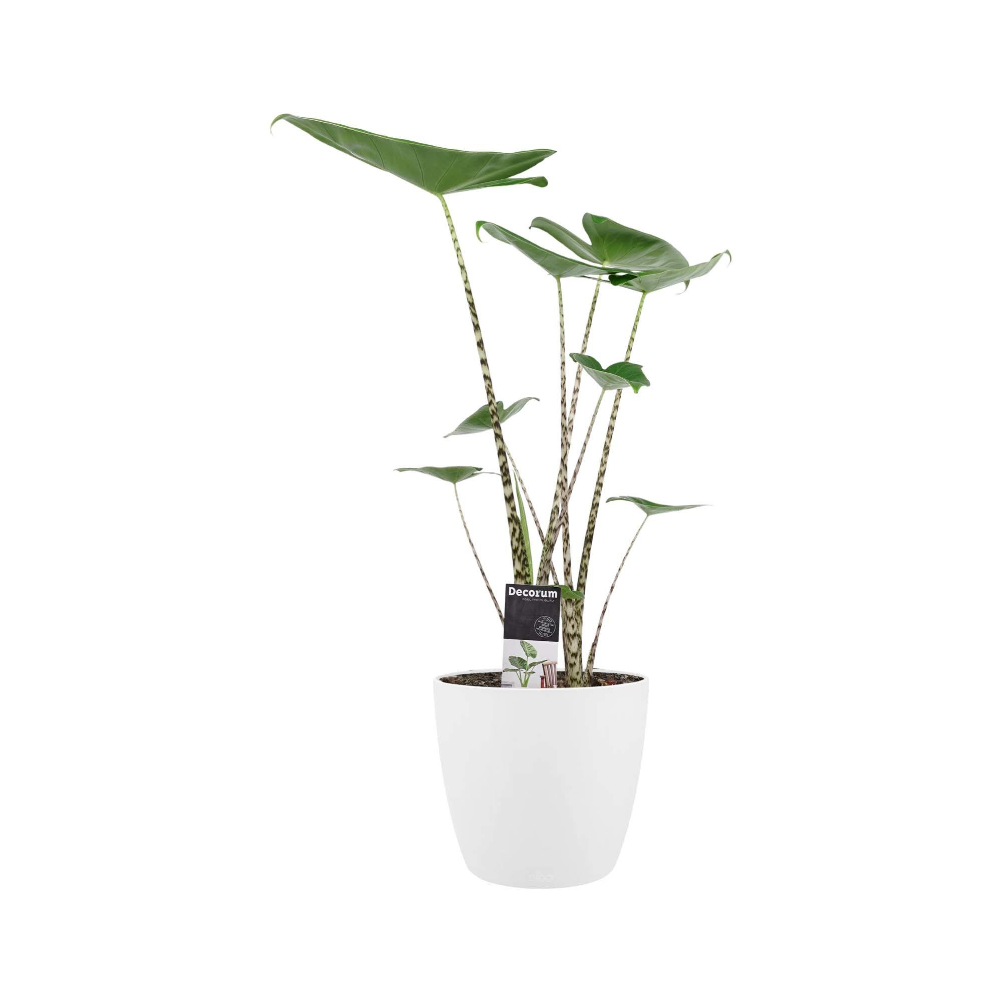 Decorum Alocasia Zebrina met ELHO brussels white (19x70 cm)