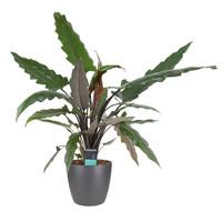 thumb-Decorum Alocasia Lauterbachiana met Elho brussels antracite (dpallaut19 - 19x80 cm)-1
