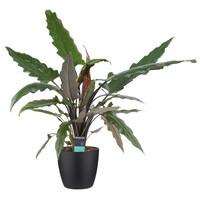 thumb-Decorum Alocasia Lauterbachiana met Elho brussels living black (dpallaut19 - 19x80 cm)-1