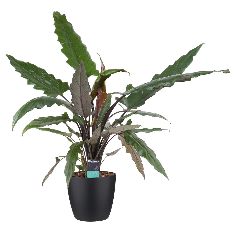 Decorum Alocasia Lauterbachiana met Elho brussels living black (dpallaut19 - 19x80 cm)