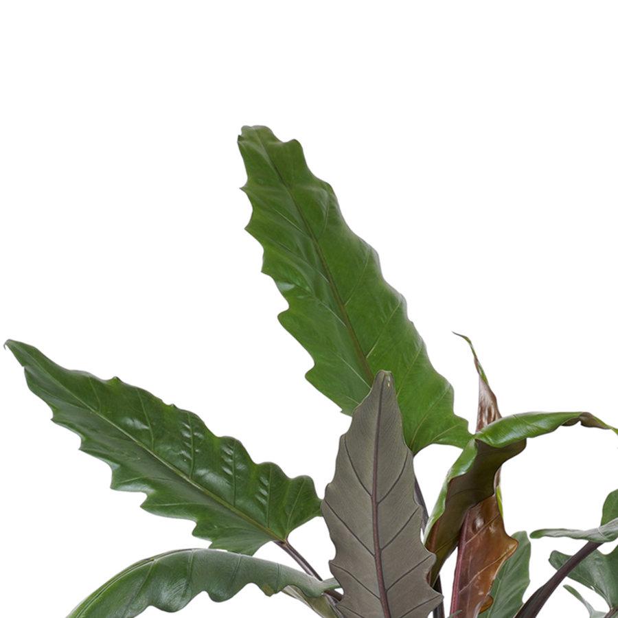 Decorum Alocasia Lauterbachiana met Elho brussels living black (dpallaut19 - 19x80 cm)-2