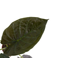 thumb-Decorum Alocasia Wentii (dpalwentii19 - 19x65 cm)-2