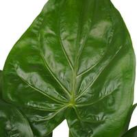 thumb-Decorum Alocasia Cucullata - Elho brussels black (DPCuculla - 19x65 cm)-2