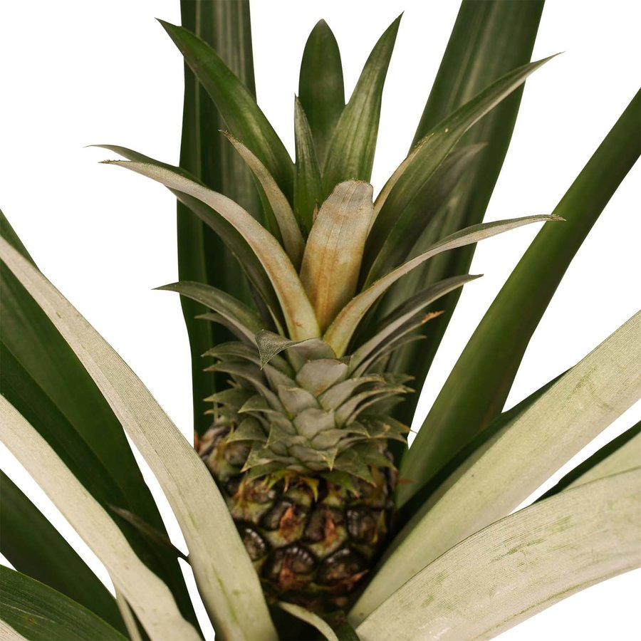 Decorum Ananas Champaca met Elho B.for soft antracite (14x55 cm)-2
