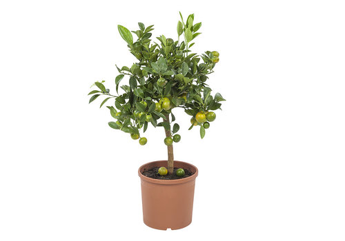 Calamondin (Citrus Microcarpa - 21x75 cm)