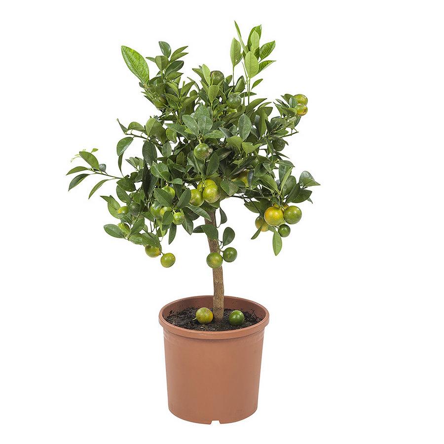 Calamondin (Citrus Microcarpa - 21x75 cm)-1