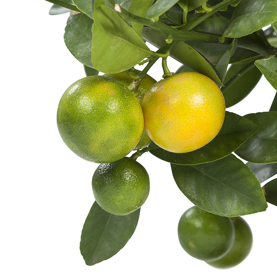 Calamondin (Citrus Microcarpa - 21x75 cm)-2
