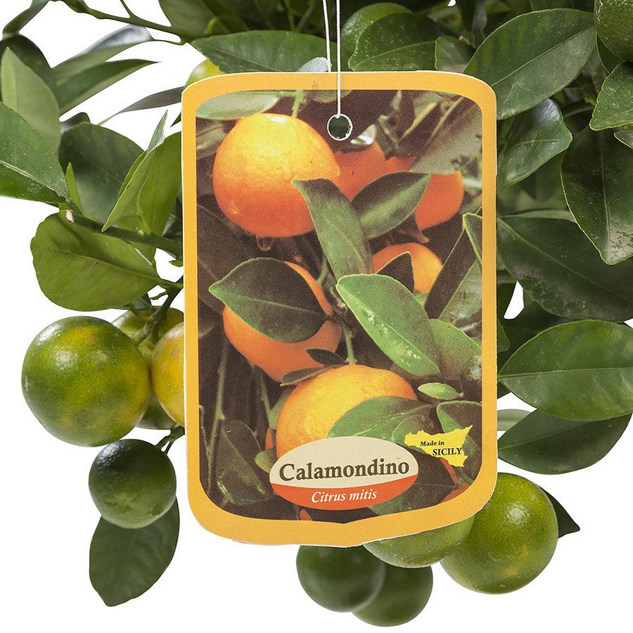 Calamondin (Citrus Microcarpa - 21x75 cm)-4