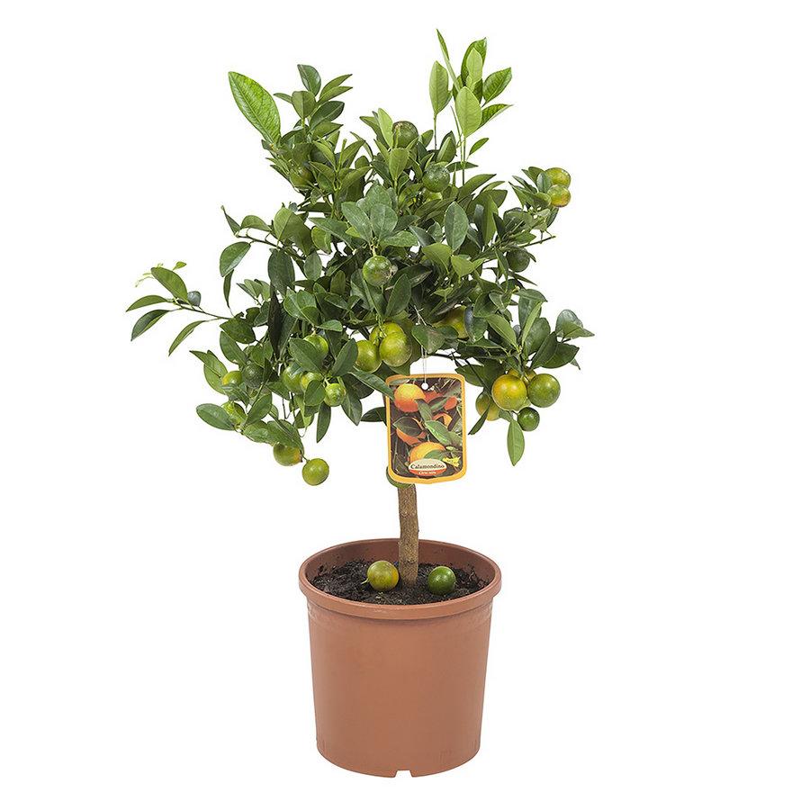 Calamondin (Citrus Microcarpa - 21x75 cm)-5