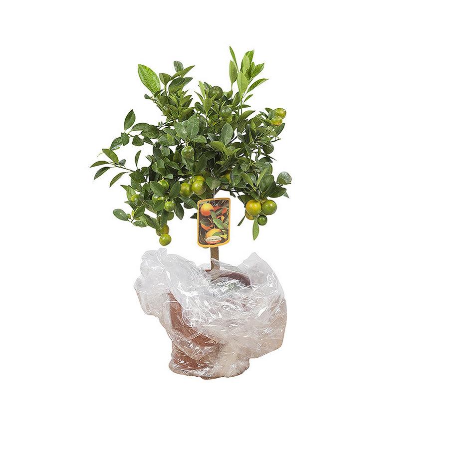 Calamondin (Citrus Microcarpa - 21x75 cm)-6