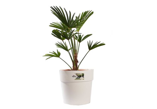 WAGNER PALM MET POT (trachycarpus wagneriana - 26x75 cm)