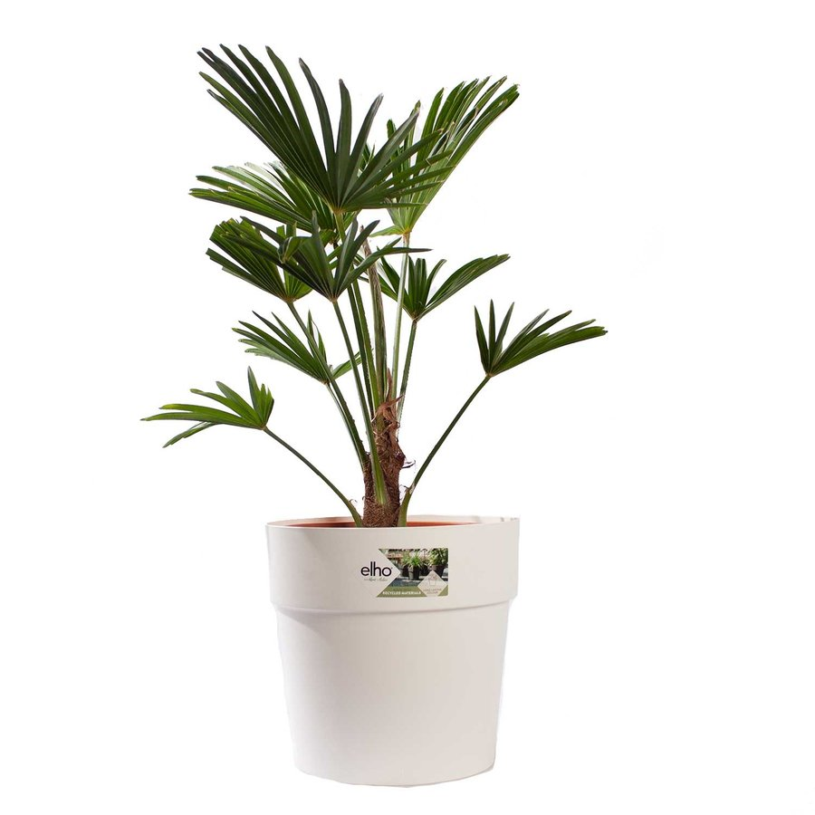 WAGNER PALM MET POT (trachycarpus wagneriana - 26x75 cm)-1