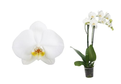 Phal Independence 2T14+ (PHIC02G02A - 12x55 cm)