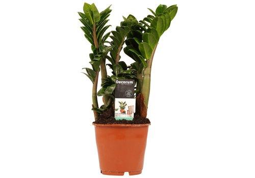 Decorum Livistona Rotendifolia (14x45 cm)