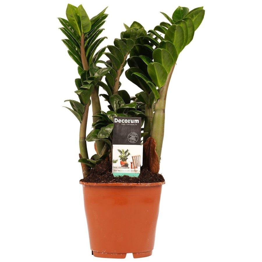 Decorum Livistona Rotendifolia (14x45 cm)-1