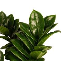 thumb-Decorum Livistona Rotendifolia (14x45 cm)-2