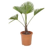 Trachycarpus Wagneriana (23x75 cm)