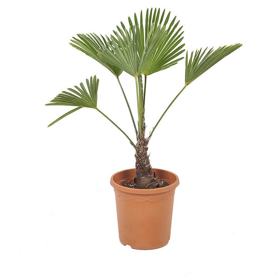 Trachycarpus Wagneriana (23x75 cm)-1