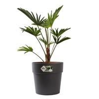 thumb-Trachycarpus Wagneriana met pot (26x75 cm)-1