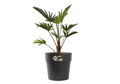 Trachycarpus Wagneriana met pot (26x75 cm)