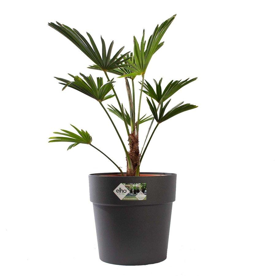 Trachycarpus Wagneriana met pot (26x75 cm)-1