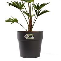 thumb-Trachycarpus Wagneriana met pot (26x75 cm)-2