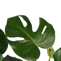 thumb-Decorum Monstera Deliciosa - Elho brussels antracite (DPmdel21 - 21x70 cm)-2