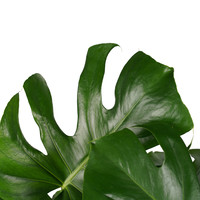 thumb-Decorum Monstera Deliciosa - Elho brussels white (DPmdel24 - 24x70 cm)-2