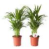 Goudpalm (Areca / Dypsis Palm) (PNLDYP17 - 17x65 cm)