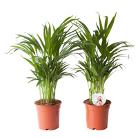 thumb-Goudpalm (Areca / Dypsis Palm) (PNLDYP17 - 17x65 cm)-1