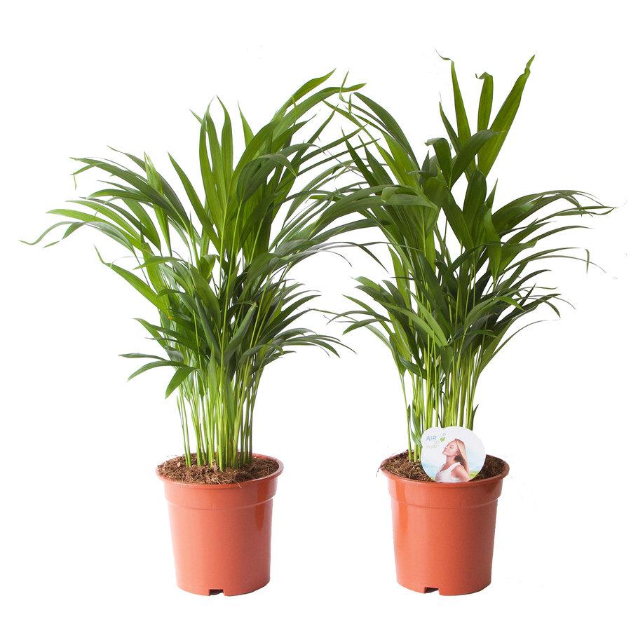 Goudpalm (Areca / Dypsis Palm) (PNLDYP17 - 17x65 cm)-1