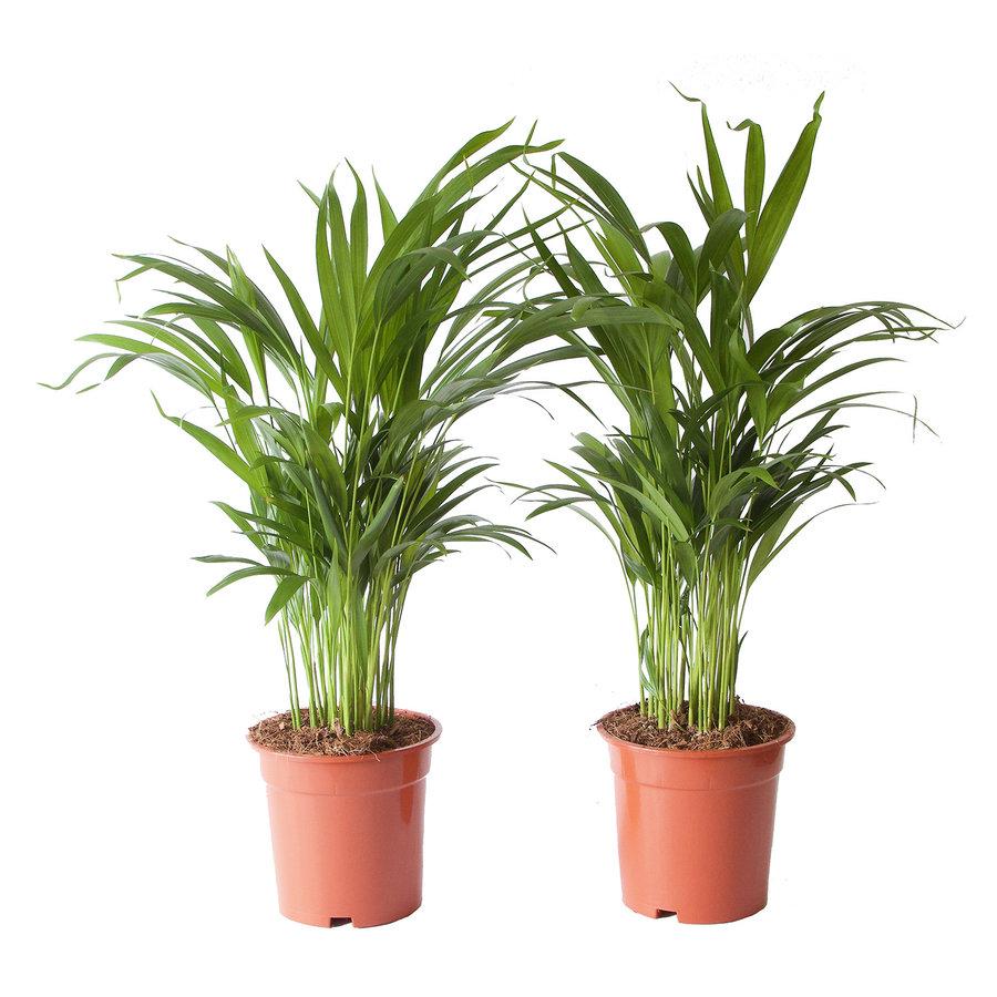 Goudpalm (Areca / Dypsis Palm) (PNLDYP17 - 17x65 cm)-2