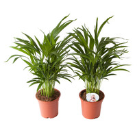 thumb-Goudpalm (Areca / Dypsis Palm) (PNLDYP17 - 17x65 cm)-3