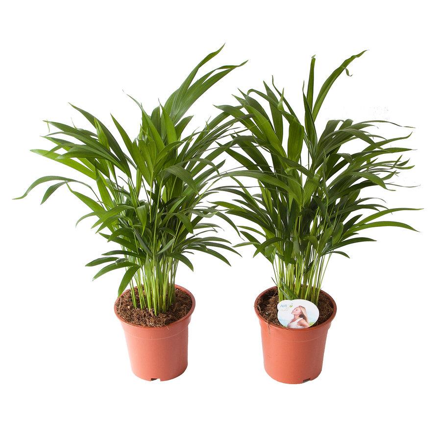 Goudpalm (Areca / Dypsis Palm) (PNLDYP17 - 17x65 cm)-3